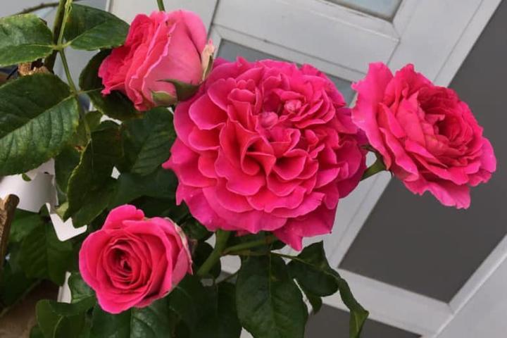 Hoa hồng Kate - 0