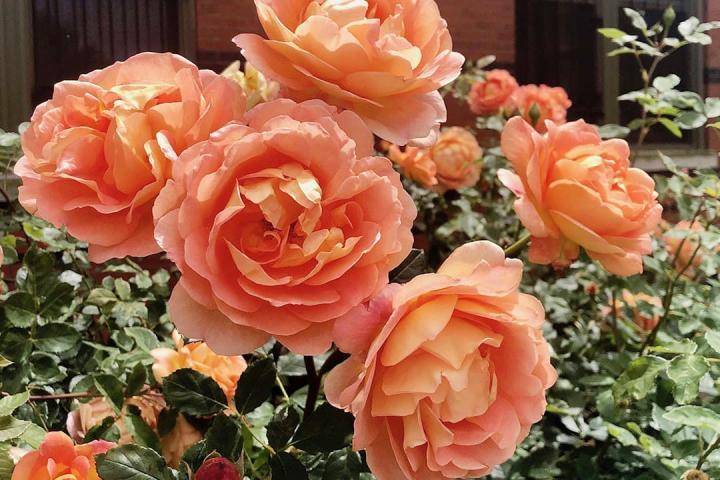 Hoa hồng Lady of Shalott - 0