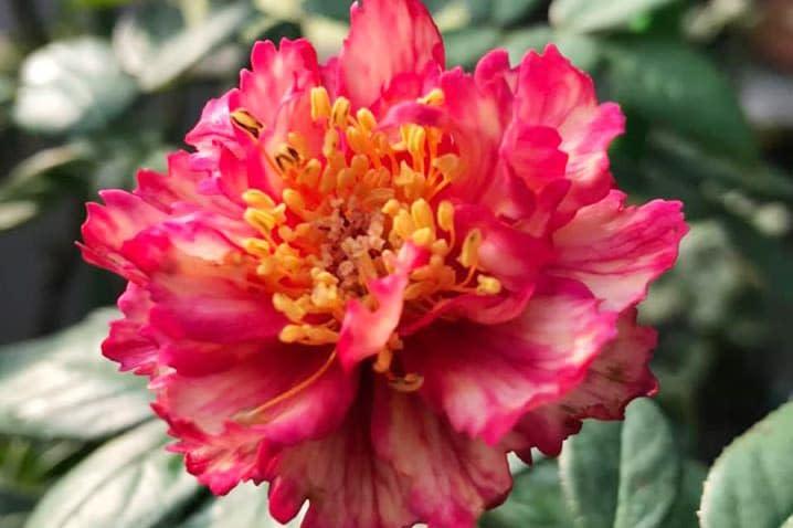 Hoa hồng Ligare 230 - 0