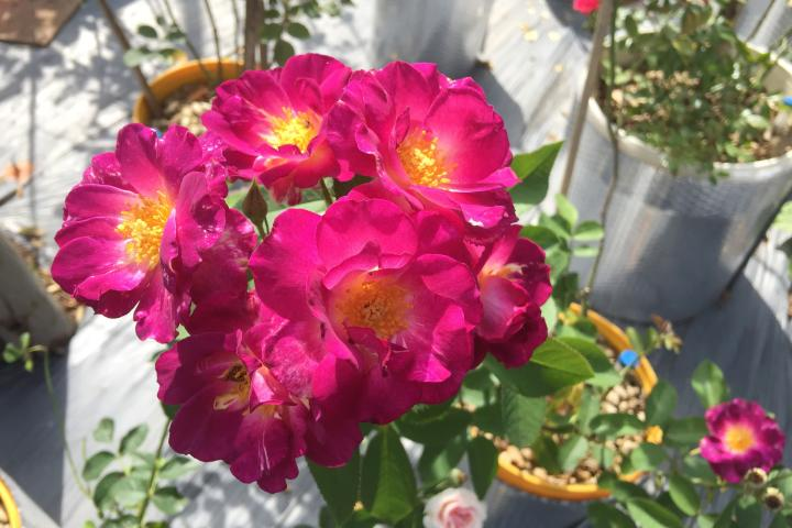 Hoa hồng Midnight Blue - 0