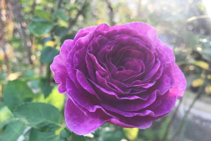 Hoa hồng Minerva - 0