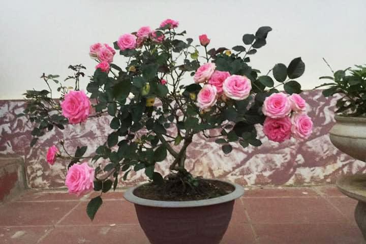 Hoa hồng Mini Eden - 0