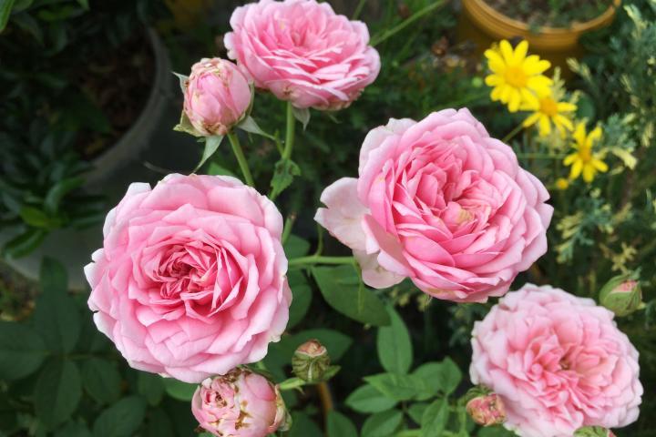 Hoa hồng Miyako - 0