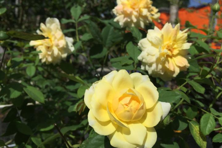 Hoa hồng Molineux - 0