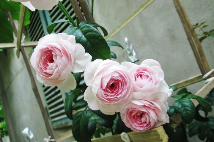 Hoa hồng Mon Coeur - 0