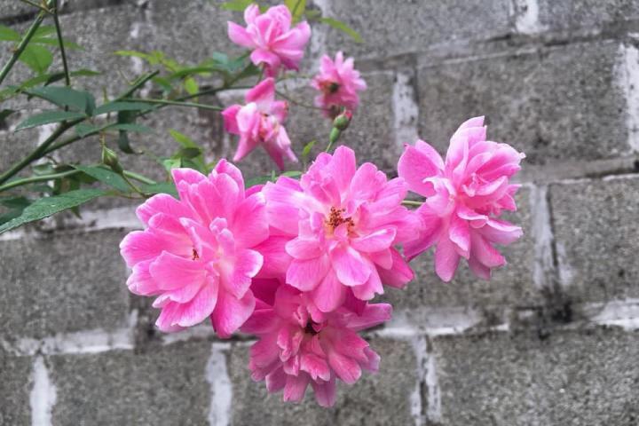Hoa hồng Napoleon - 0
