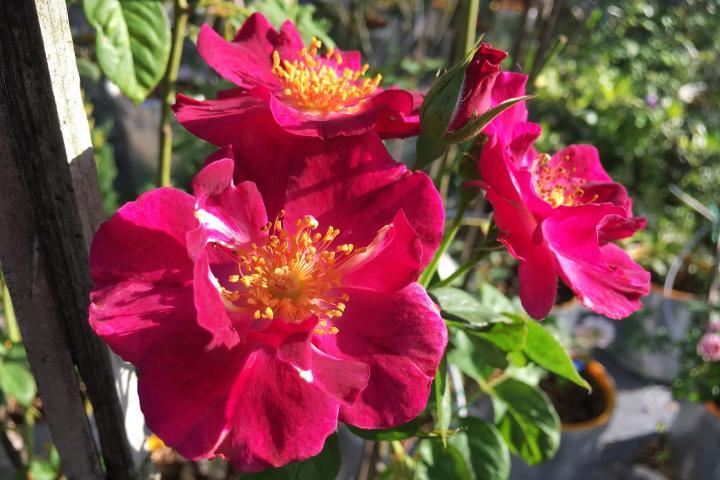 Hoa hồng Night Owl - 0
