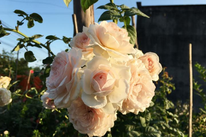 Hoa hồng Olivia Rose Austin - 0