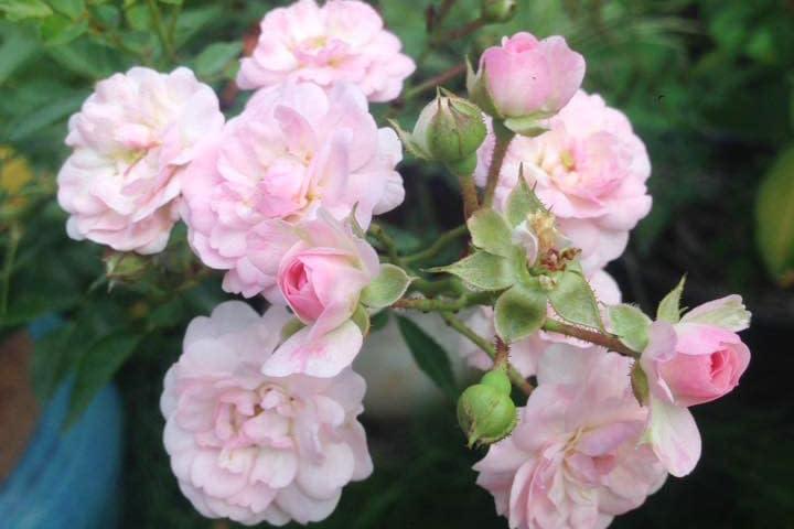 Hoa hồng Pink Prosperity - 0