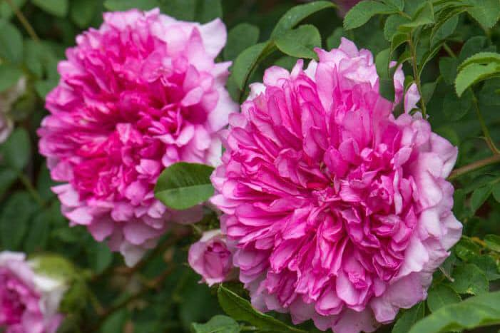 Hoa hồng R. roxburghii Plena - 0