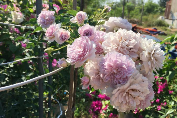 Hoa hồng Rainy Blue - 0