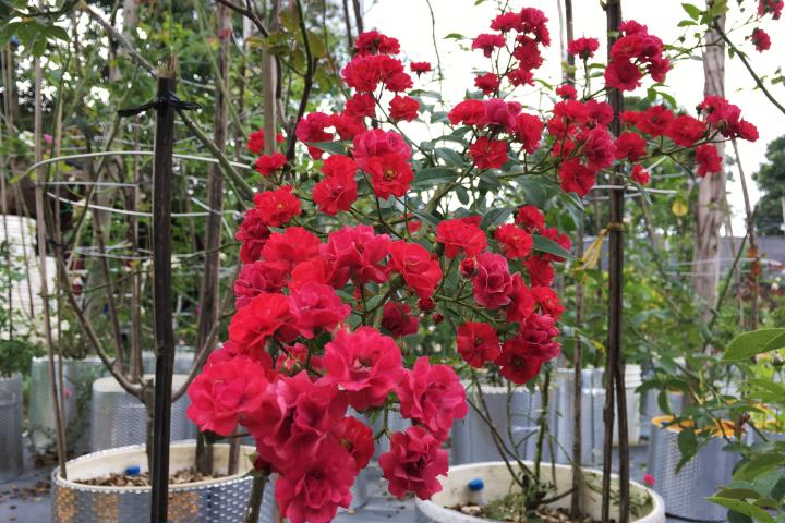 Hoa hồng Red Fairy - 0