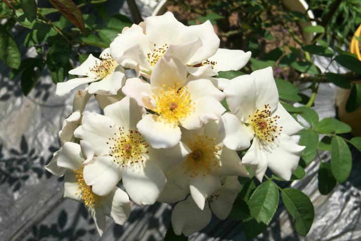Hoa hồng Sally Holmes - 0