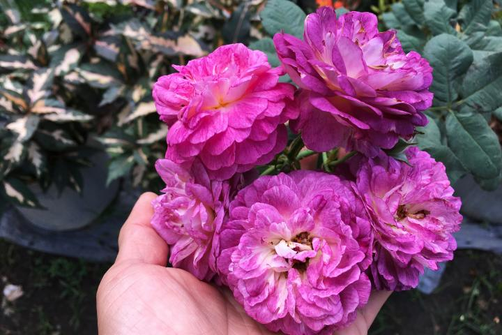 Hoa hồng Society - 0