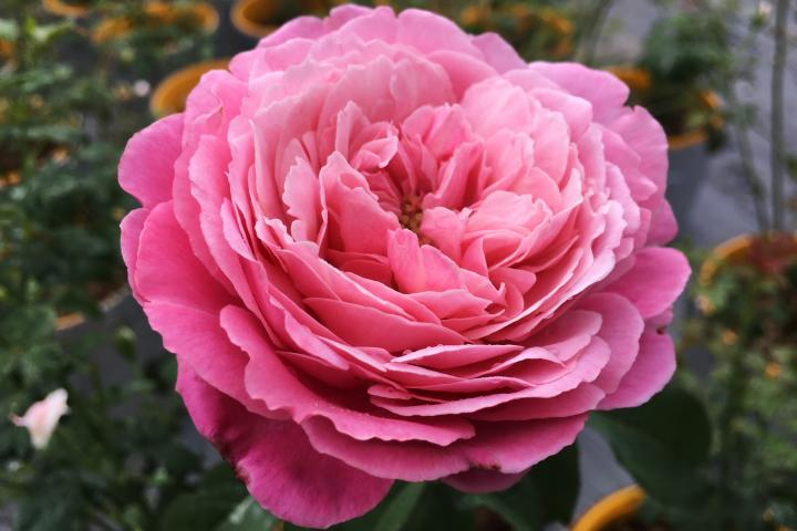 Hoa hồng Soeur Emmanuelle  - 0