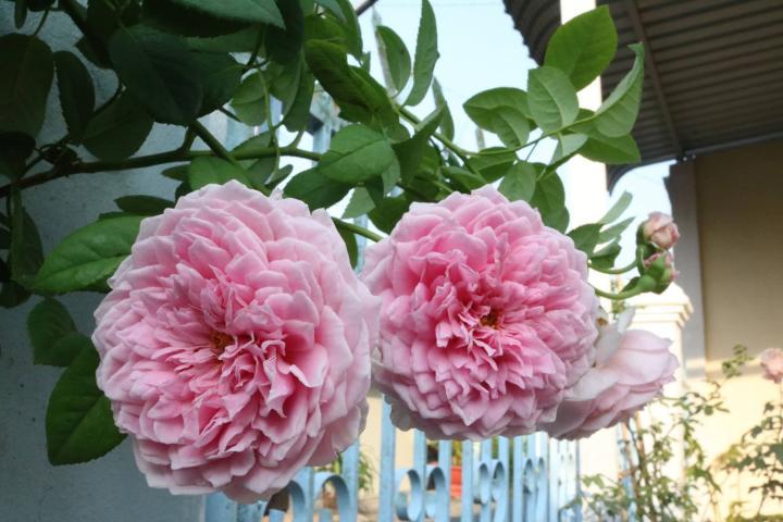 Hoa hồng Spirit of Freedom - 0