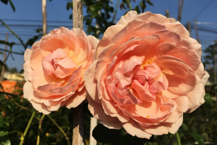 Hoa hồng Strawberry Hill - 0