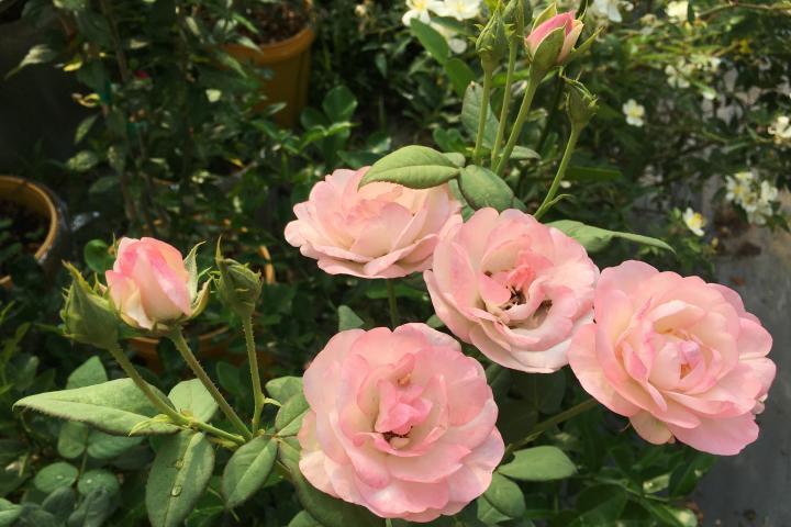 Hoa hồng Strawberry Macaron - 0