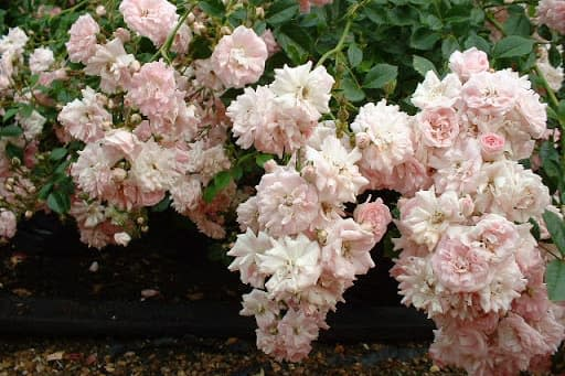 Hoa hồng Super Fairy - 0