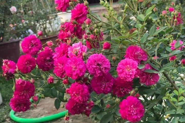 Hoa hồng Sweet Chariot - 0