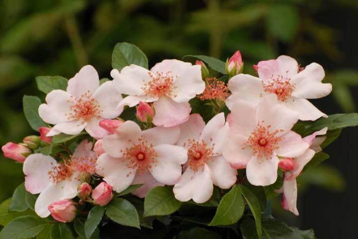 Hoa hồng Sweet Pretty - 0