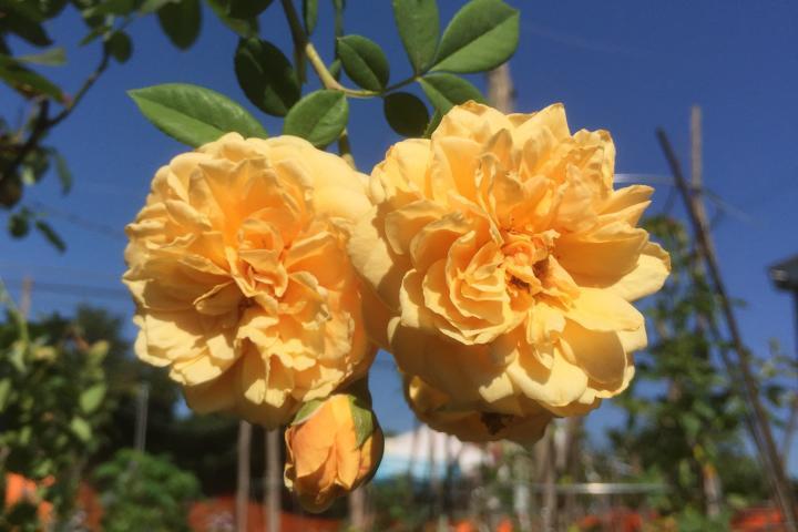 Hoa hồng Teasing Georgia - 0