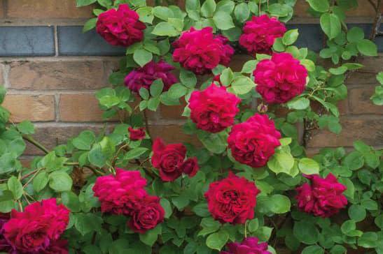 Hoa hồng Tess of the D'Urbervilles - 0