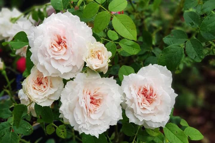 Hoa hồng The Wedgwood - 0