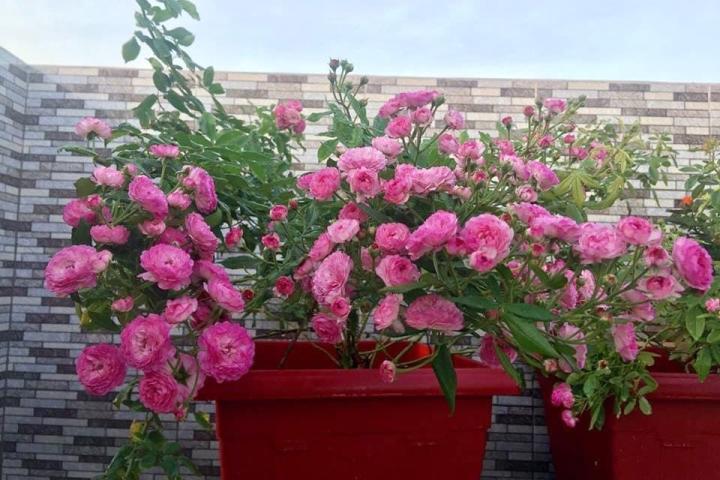 Hoa hồng Vineyard Song - 0