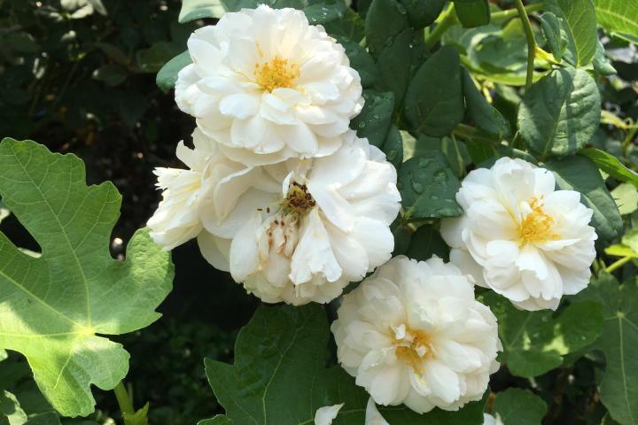 Hoa hồng William & Catherine - 0