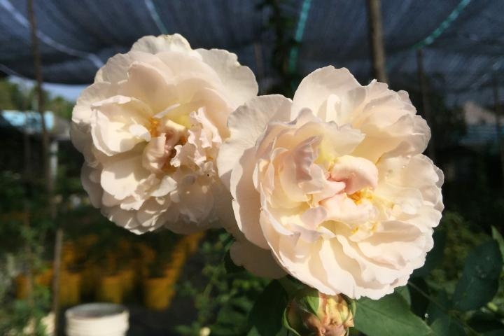 Hoa hồng Winchester Cathedral - 0