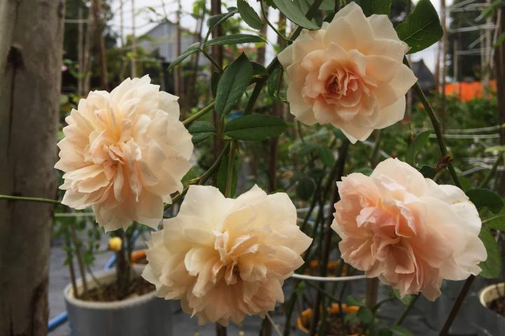 Hoa hồng Wisley 2008 - 0
