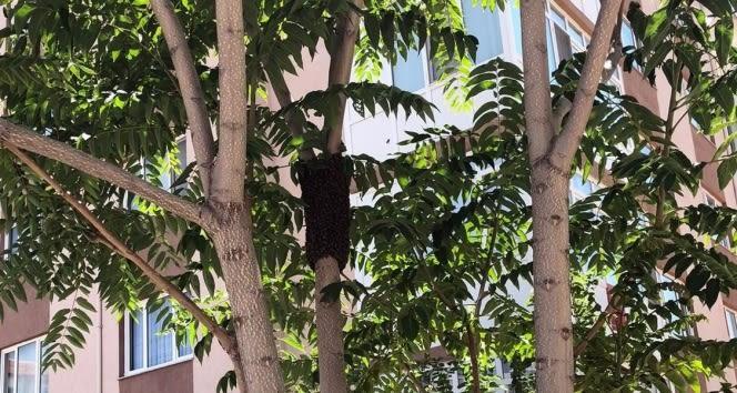 Bir site içine ağaca yuva yapan arılar toplandı