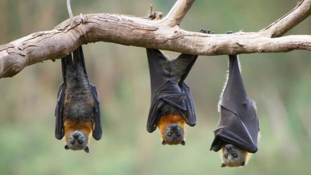 Koronavirüs salgınından yarasalar mı sorumlu?
