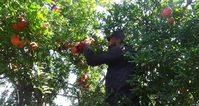 Kilis'te nar hasadı başladı