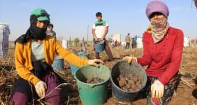 Yerli ve mor! İlk hasadı Sivas'ta gerçekleşti…