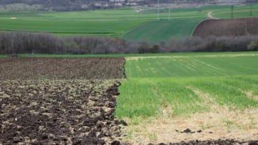 Sararan buğday tarlaları, ayçiçeğini bekliyor