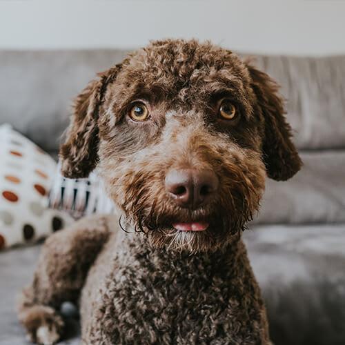 So entfernst du Hundehaare von Teppich und Sofa