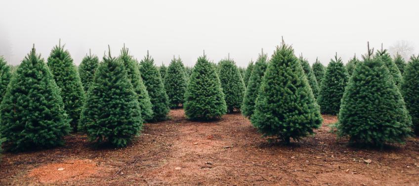 Cut Your Own Christmas Tree Farms Near Nyc Mommy Nearest