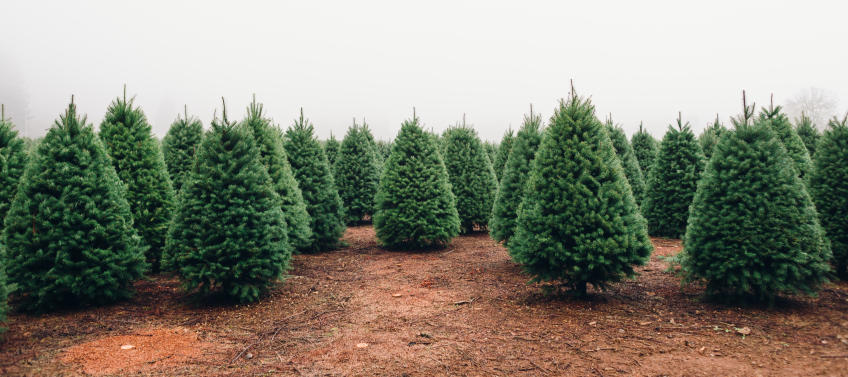 Image result for christmas tree farm