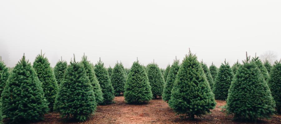 Christmas Tree Farms.5 Best Christmas Tree Farms Near Boston Mommy Nearest