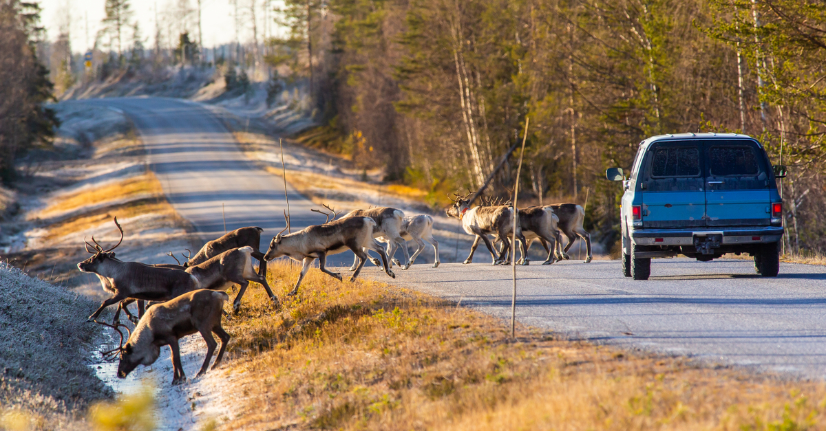A car is being blocked by several reindeers crossing the road.