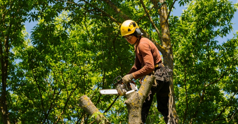 A professional arborist cuts down an unsafe tree with a chainsaw