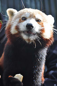 Red panda encounter - Sir Ed