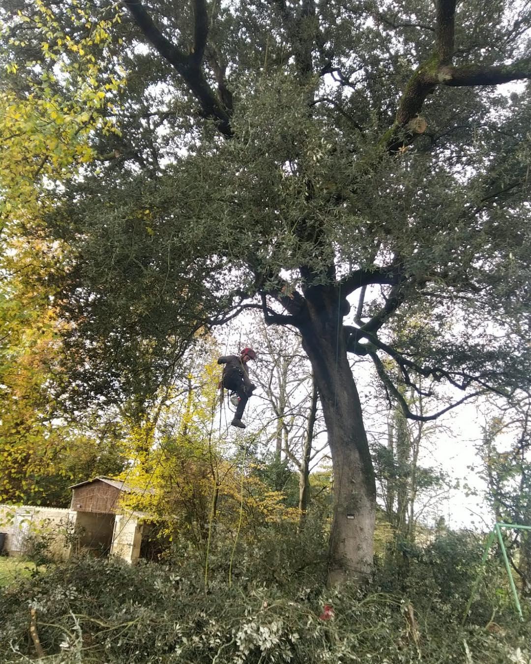 Taille sanitaire un chêne vert majestueux - Horizon Arboré à Pons