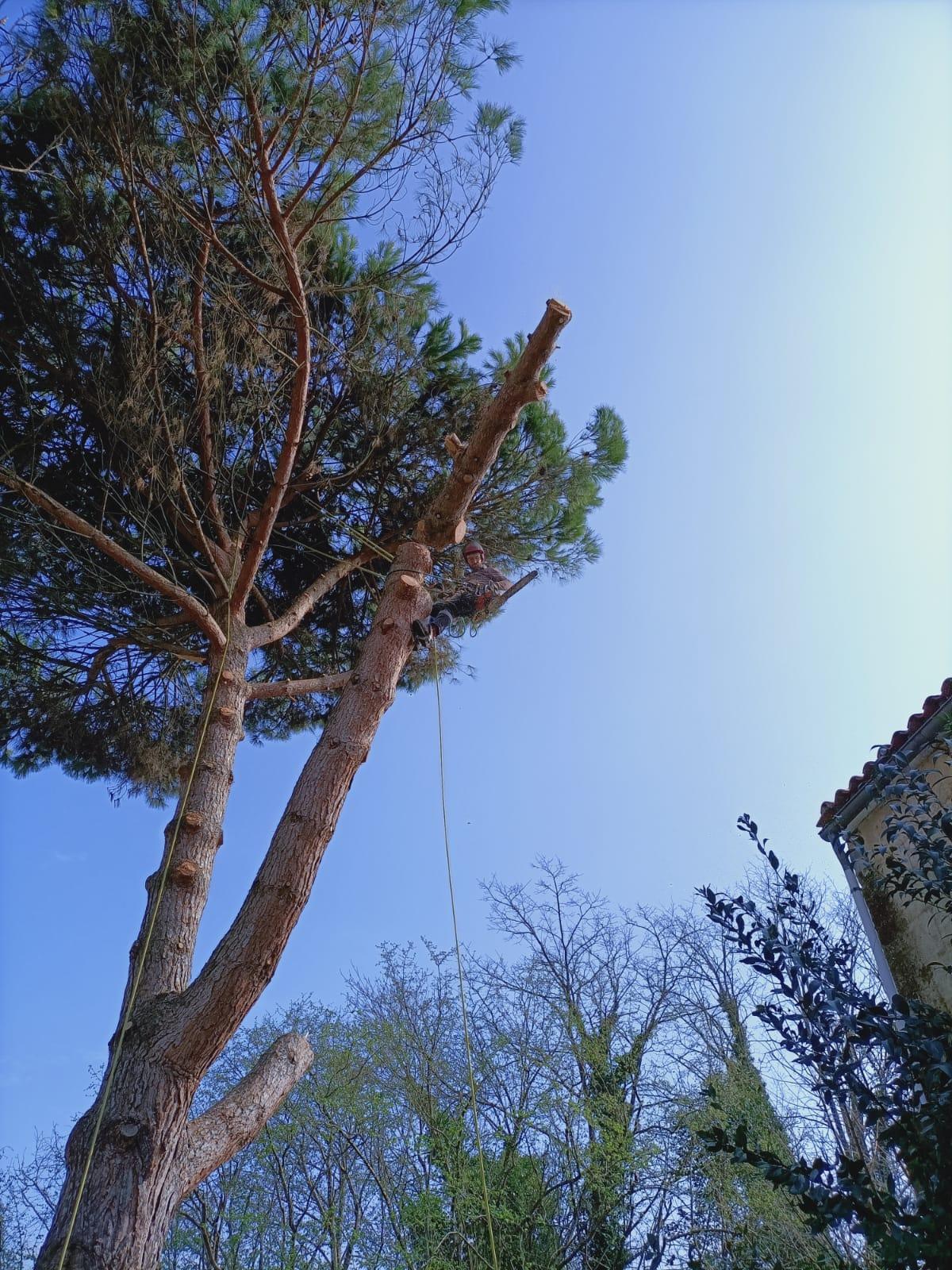 Abattage par démontage d'un pin - Horizon Arboré à Pons