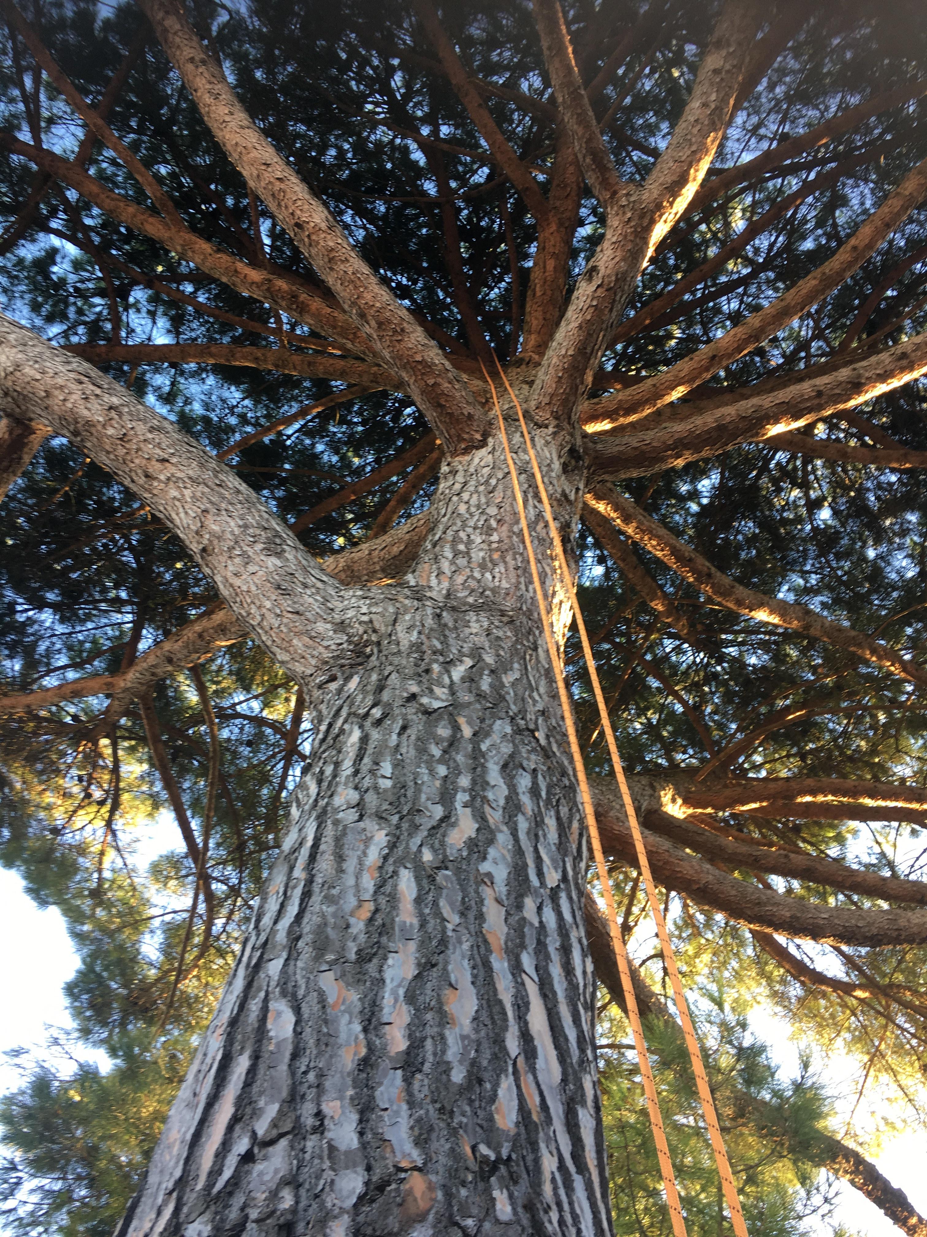 Taille d'un pin parasol - Horizon Arboré à Pons