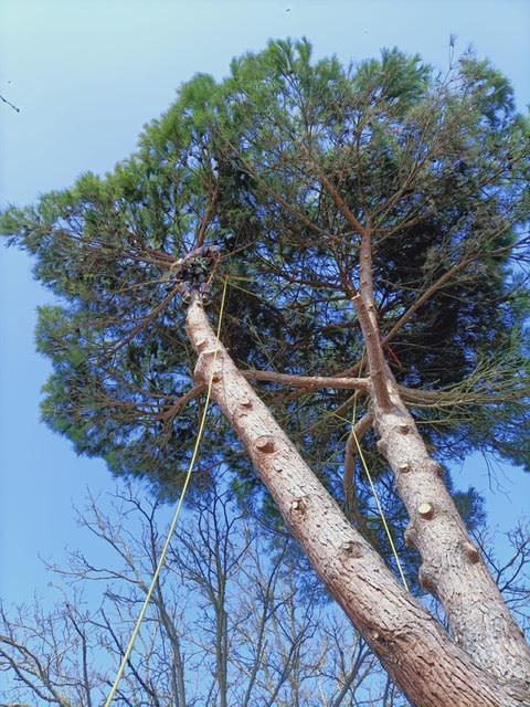 Abattage par démontage d'un pin à Royan