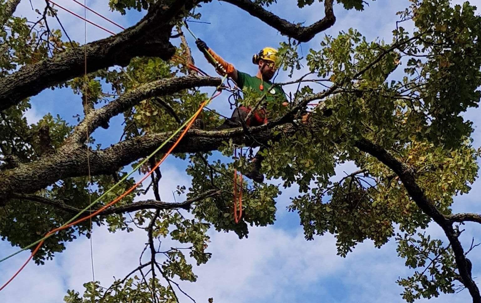 Taille d'un chêne à Pons - Horizon Arboré