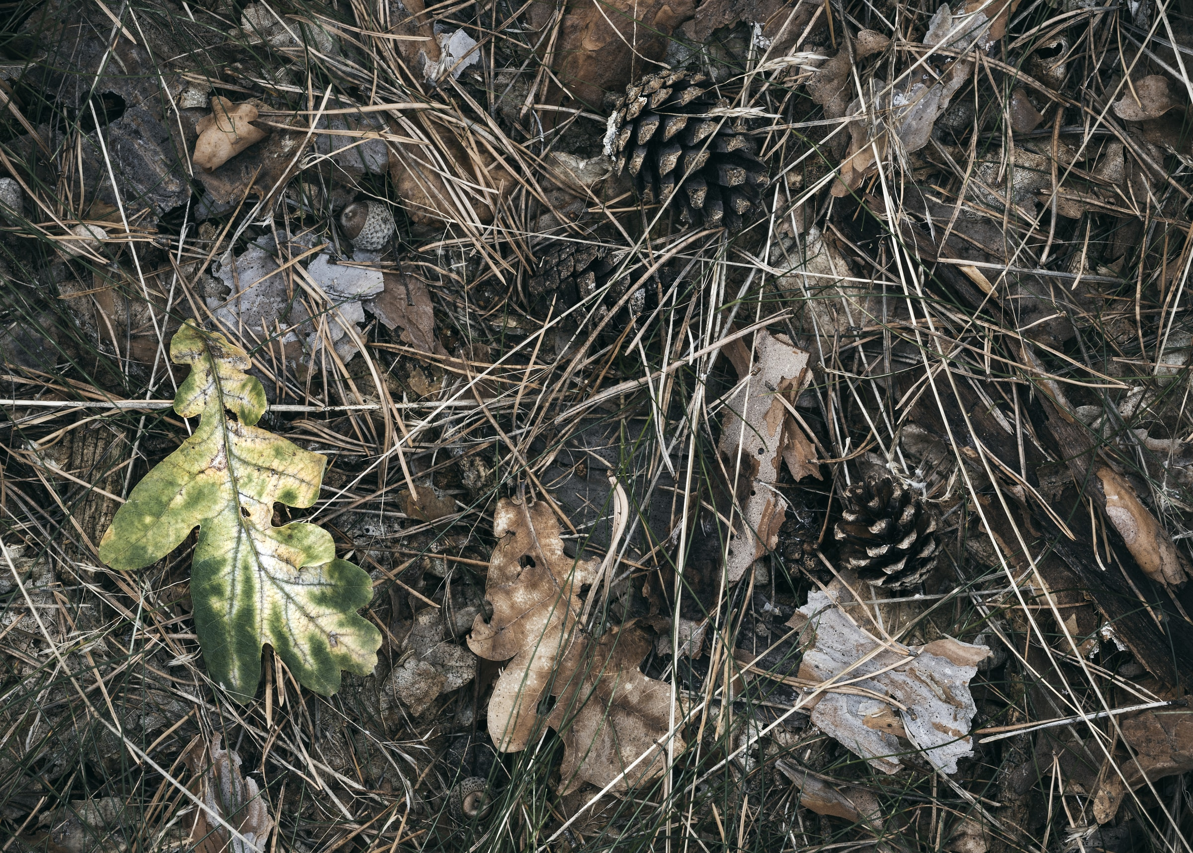 Oak leaf and cones